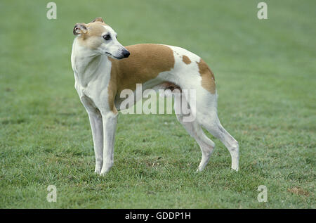Whippet Dog, Male standing on Lawn - Stock Photo