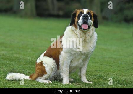 Saint Bernard, Rescue Dog - Stock Photo