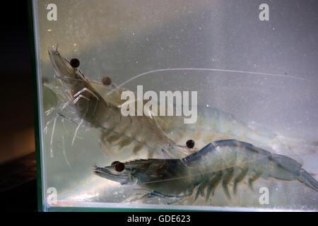 Langenpreising, Germany. 3rd May, 2016. Living prawns on the prawn farm 'Crusta Nova' in Langenpreising, Germany, - Stock Photo