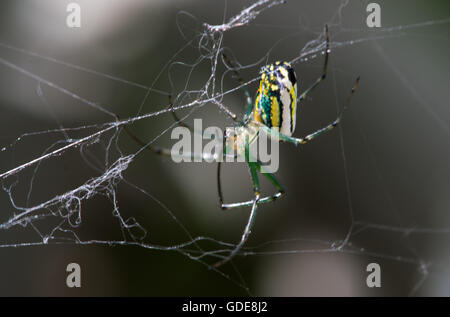 Orchard Orb Weaver Sitting On Their Web - Stock Photo