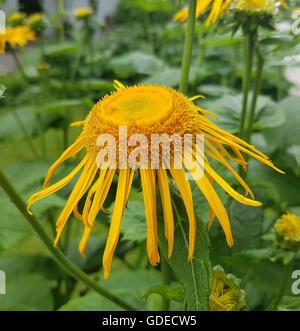 Alant; Bluete; Inula Helenium; Staudenpflanze, Heilpflanze - Stock Photo