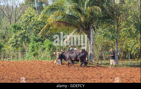 Cuban farmers working with ox - Stock Photo
