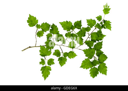 Hawthorn branch with leaves cut out - Stock Photo