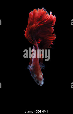 Siamese fighting fish (Betta splendens), Indonesia - Stock Photo
