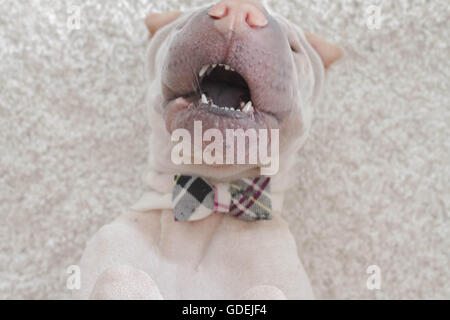 Overhead view of Shar pei dog wearing a bow tie playing - Stock Photo