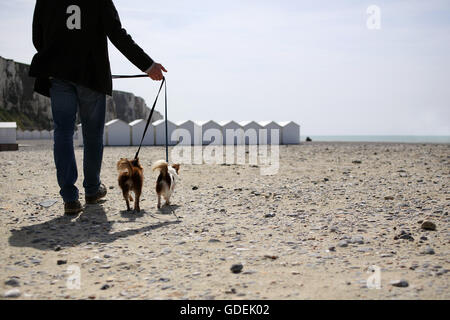 Man walking Chihuahua dogs on beach, Normandy - Stock Photo