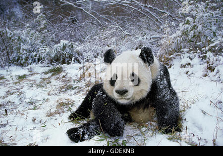 GIANT PANDA ailuropoda melanoleuca, ADULT ON SNOW, WOLONG RESERVE IN CHINA - Stock Photo