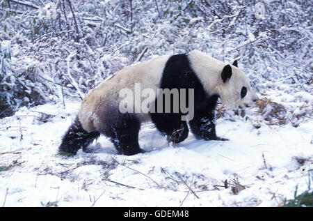 Giant Panda, ailuropoda melanoleuca, Adult on Snow, Wolong Reserve in China - Stock Photo