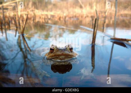 Common Toad, North Rhine-Westphalia, Germany / (Bufo bufo) - Stock Photo