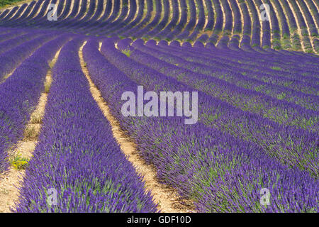 Lavender Blossom near Sault, Provence, Provence-Alpes-Cote d'Azur, France - Stock Photo