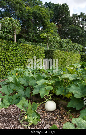 Fresh white pumpkin  growing in a small formal garden. - Stock Photo