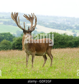red deer stag - Stock Photo