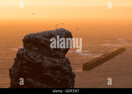Northern gannet, (Sula bassana), colony, Schleswig-Holstein, Heligoland, Germany, - Stock Photo