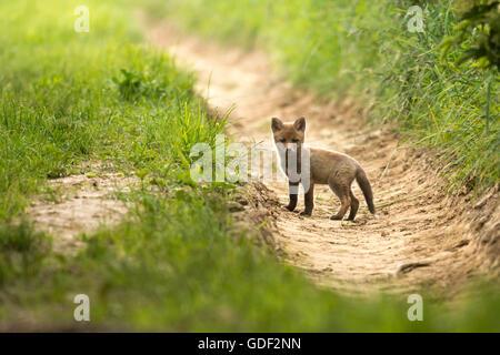 red-fox, cub, (Vulpes vulpes) Germany - Stock Photo