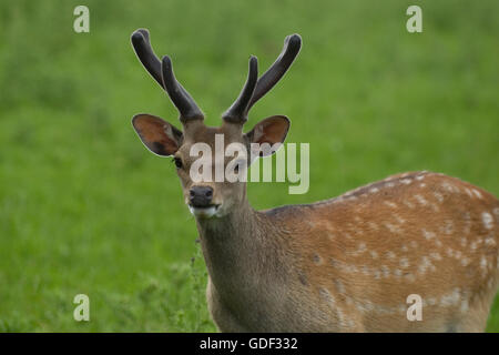 sika deer stag - Stock Photo