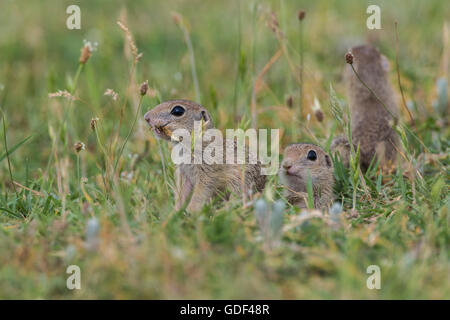 European souslik, Bulgary/ (Spermophilus citellus) - Stock Photo