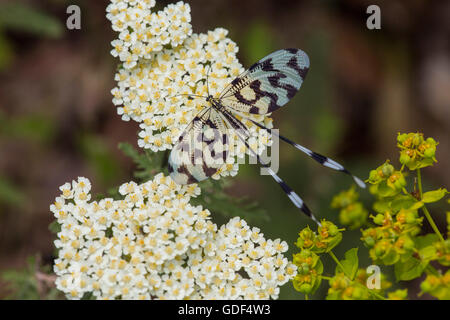 Thread-winged lacewing, Greece (Nemoptera sinuata)