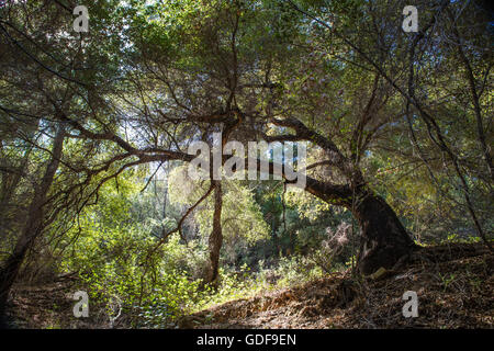 Old California Oak tree at sunset in a woods - Stock Photo