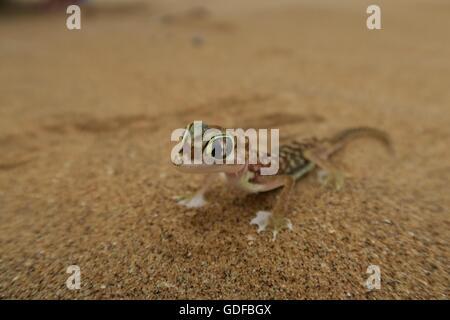 Namib Gecko, web-footed gecko or Palmato-Gecko (Pachydactylus rangei), Namib Desert in Swakopmund, Namibia - Stock Photo