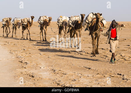 Caravan, camels carrying salt from the salt mines of Dallol, Danakil Depression, Afar Triangle, Ethiopia - Stock Photo