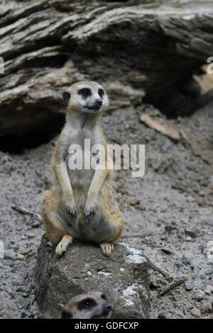 Meerkat Sitting and Looking - Stock Photo