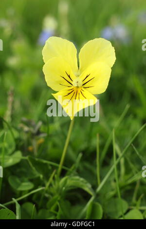 A wild mountain pansy (viola lutea) flowers  in a field in an upland area of the Peak District National Park Derbyshire - Stock Photo