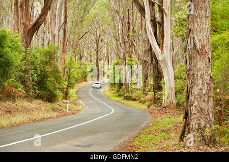 Car on a road through ancient eucalyptus forest. - Stock Photo