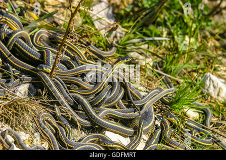 Male garter snakes looking for a mate in early spring - Stock Photo