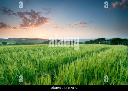 Beautiful summer sunset over a field of Barley in the Cornish countryside - Stock Photo
