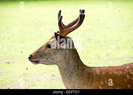 A sika deer in Nara Park. - Stock Photo