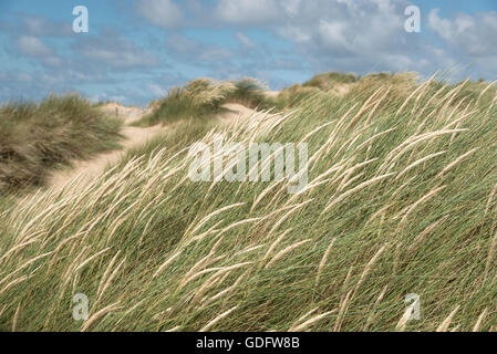 Flowering dune grasses in bright sunshine. Taken at Formby point on the coast of northwest England. - Stock Photo