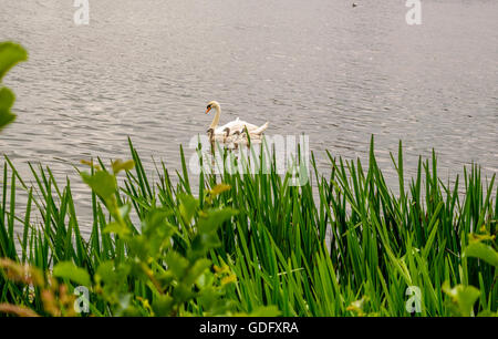 Swans family swimming in a river in Exeter - Stock Photo
