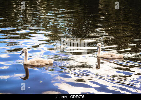 Baby swans swimming in a river in Exeter - Stock Photo
