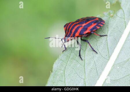Italian striped-bug, mintstrel bug (Graphosoma lineatum) - Stock Photo