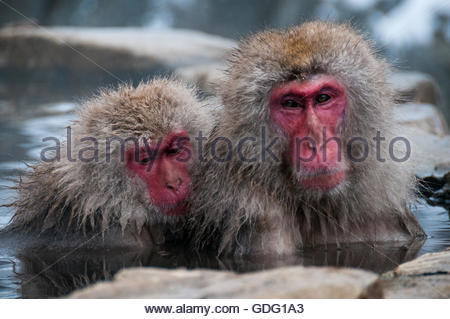 Two red faced Japanese macaques enjoy the hot spring water at the Jigokudani Monkey Park - Stock Photo