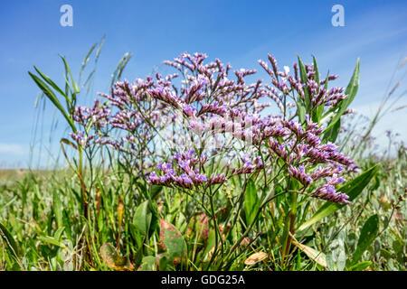 Zwinblomme / common sea-lavender (Limonium vulgare) in flower at saltmarsh in summer - Stock Photo