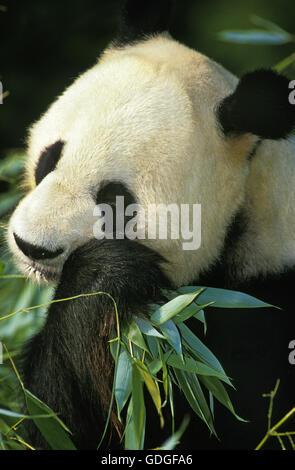 Giant Panda, ailuropoda melanoleuca, Adult eating Bamboo - Stock Photo