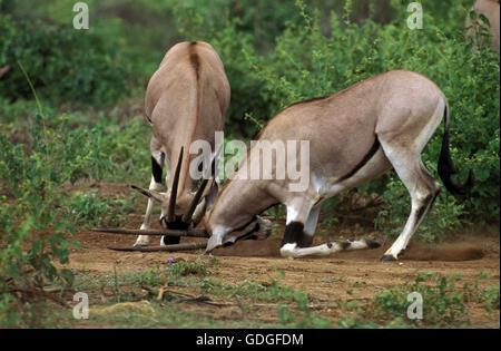 Beisa Oryx, oryx beisa, Males fighting, Kenya - Stock Photo