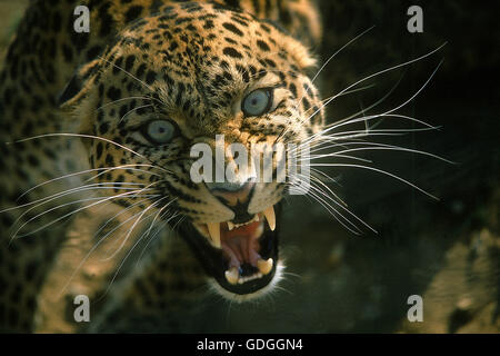Leopard, panthera pardus, Portrait of Adult snarling - Stock Photo