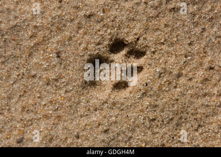 LEOPARD (4 MONTHS OLD CUB) panthera pardus, PAW PRINT, NAMIBIA - Stock Photo