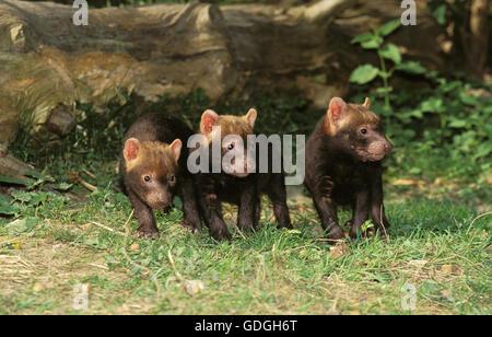 Bush Dog or Vinegar Fox, speothos venaticus, Pup