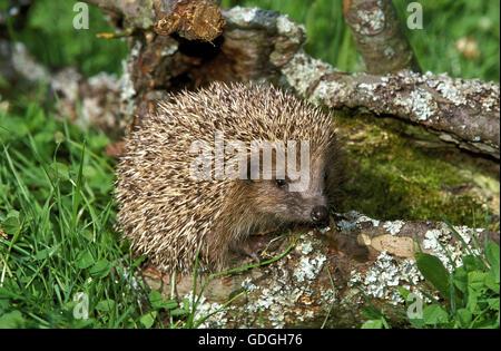 European Hedgehog, erinaceus europaeus, Adult, Normandy - Stock Photo