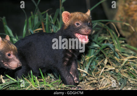 BUSH DOG OR VINEGAR FOX speothos venaticus, YOUNG CALLING FOR MOTHER