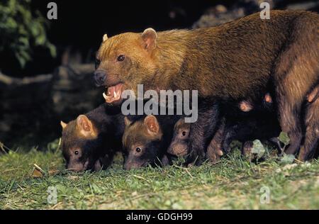 Bush Dog or Vinegar Fox, speothos venaticus, Mother with Cub