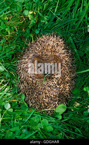European Hedgehog, erinaceus europaeus, Adult rolled up on Grass - Stock Photo