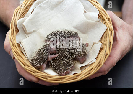 European Hedgehog, erinaceus europaeus, Babies rescued at La Dame Blanche, a Wildlife Protection Center in Normandy - Stock Photo