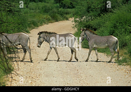 Grevy's Zebra, equus grevyi, Herd Crossing Track, Kenya - Stock Photo