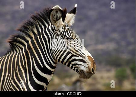 Grevy's Zebra, equus grevyi, Portrait of Adult, Samburu Park in Kenya - Stock Photo