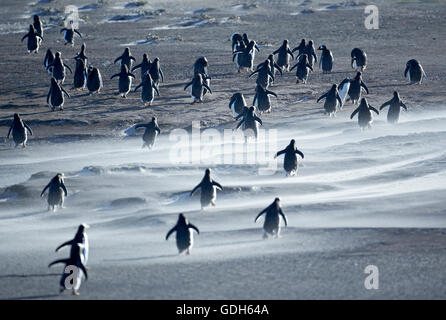 Gentoo Penguins (Pygoscelis papua) walking through a sandstorm, Sea Lion Island, Falkland Islands, South Atlantic - Stock Photo