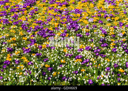 Purple and yellow crocuses (Crocus vernus) and white snowdrops (Galanthus nivalis) are blooming on a meadow, Wehlen, - Stock Photo